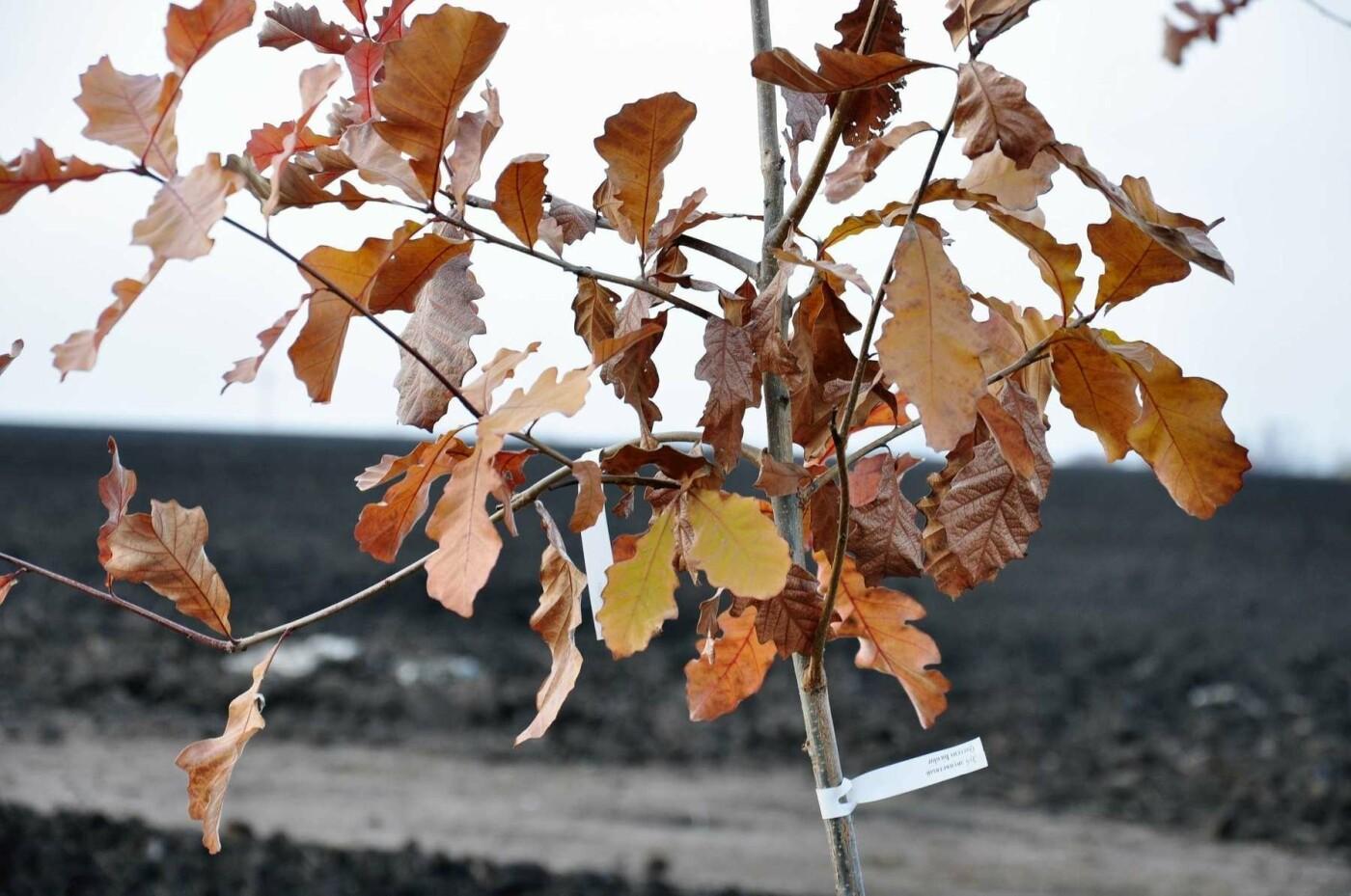 На месте берёзовой рощи в Белгороде высадили 800 саженцев дуба , фото-4