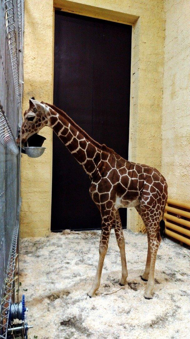 В зоопарке Белгорода умер годовалый жирафёнок Сафари, фото-1