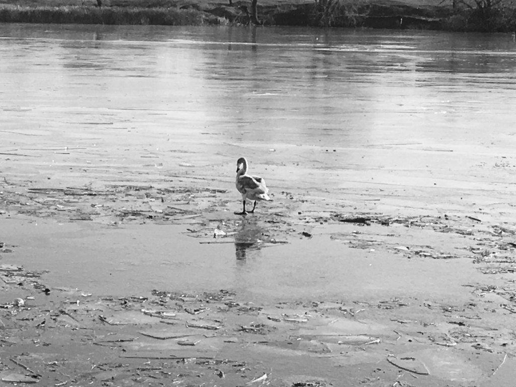 Спасение отбившегося от стаи лебедя под Белгородом не увенчалось успехом, фото-1