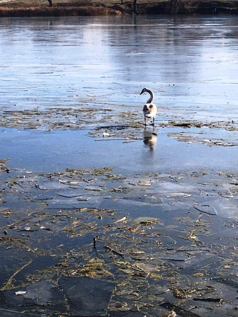 Спасение отбившегося от стаи лебедя под Белгородом не увенчалось успехом, фото-7