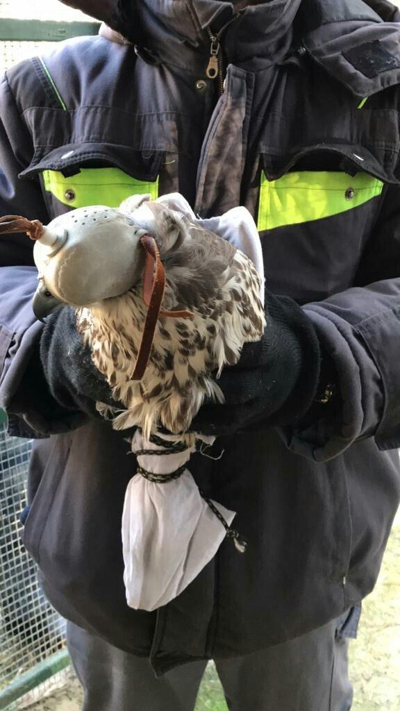 Охота на соколов. На границе под Белгородом предотвратили контрабанду редких птиц, фото-6