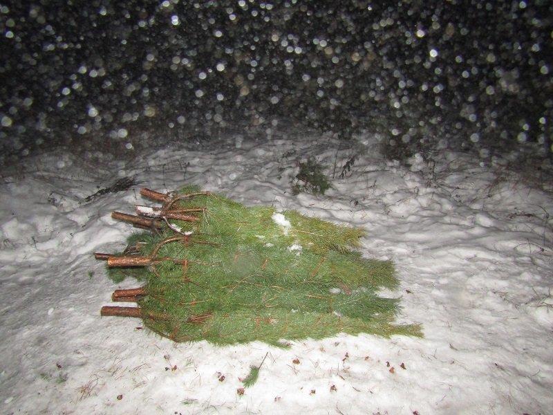 Белгородец незаконно срубил 16 сосен, фото-1