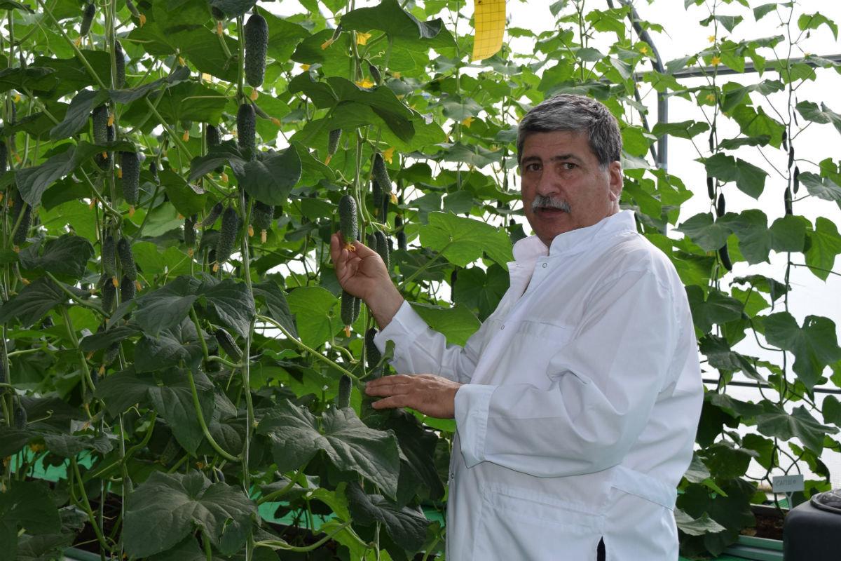 Гибриды томатов прошли испытания в защищённом грунте в Белгородском района, фото-1