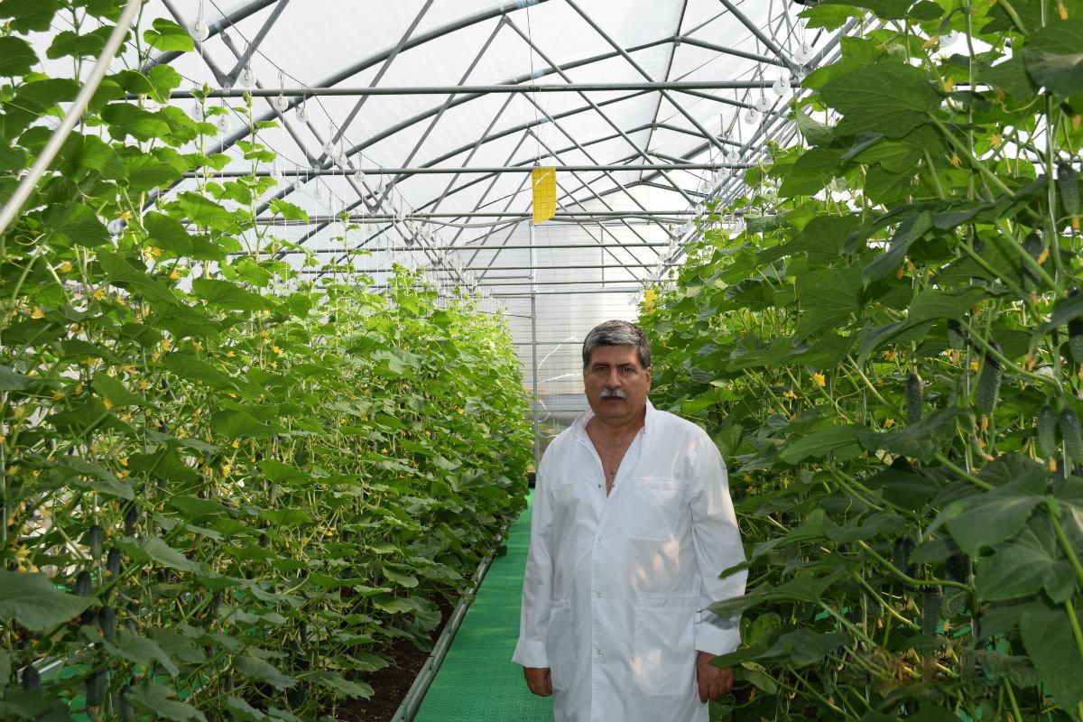 Гибриды томатов прошли испытания в защищённом грунте в Белгородском района, фото-2