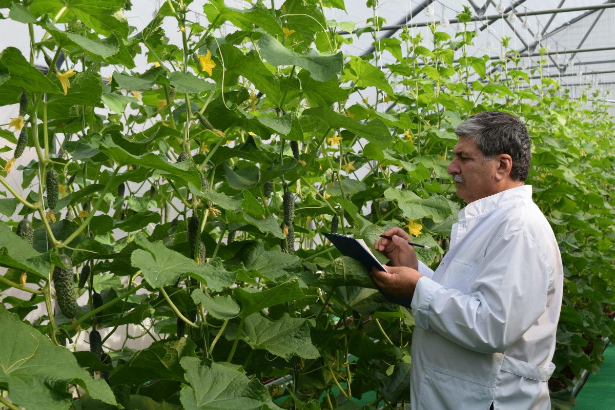 Гибриды томатов прошли испытания в защищённом грунте в Белгородском района, фото-3