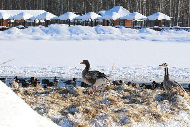 В белгородском зоопарке до весны обосновались перелётные гуси и утки, фото-2, Фото пресс-службы зоопарка