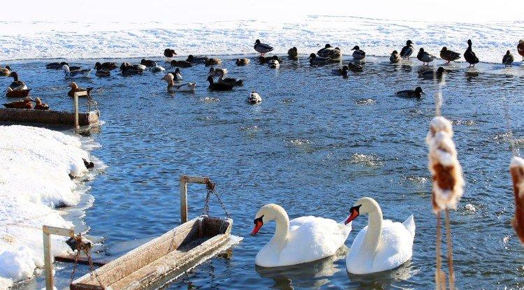 В белгородском зоопарке до весны обосновались перелётные гуси и утки, фото-1, Фото пресс-службы зоопарка
