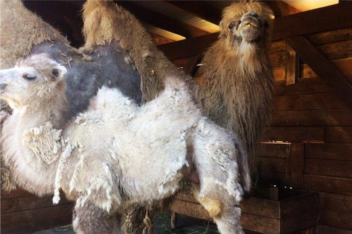 В зоопарке Белгорода поселился двухмесячный верблюжонок, фото-1