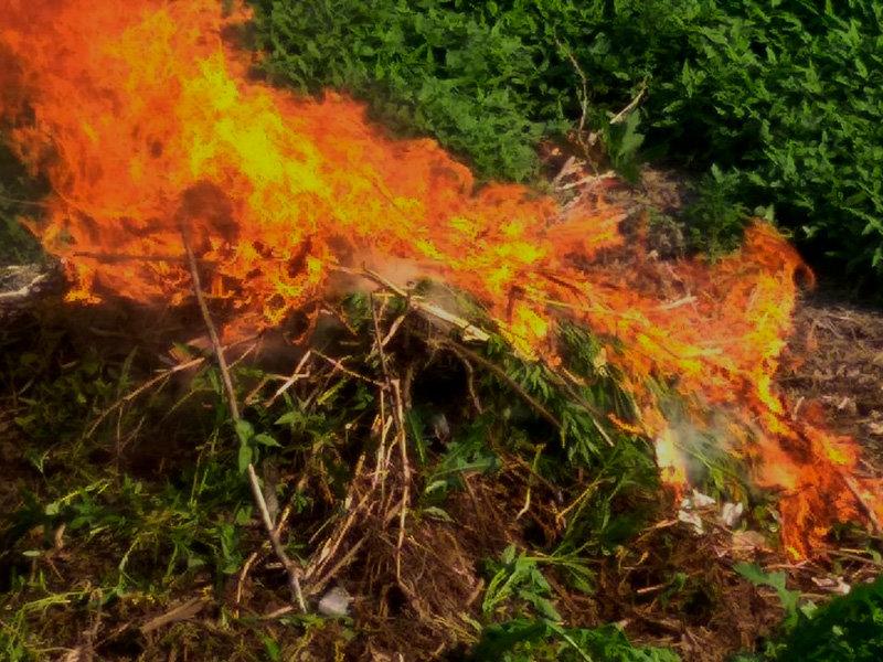 Белгородские полицейские сожгли сотни кустов конопли, фото-1