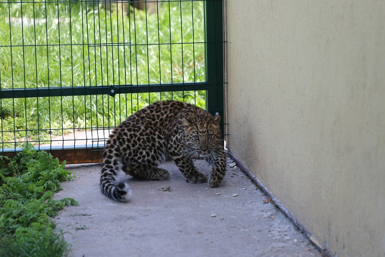 В зоопарке Белгорода посетителям показали маленькую самку леопарда, фото-5