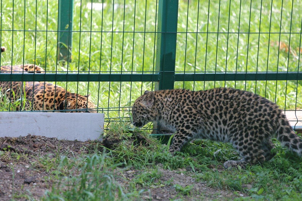 В зоопарке Белгорода посетителям показали маленькую самку леопарда, фото-3