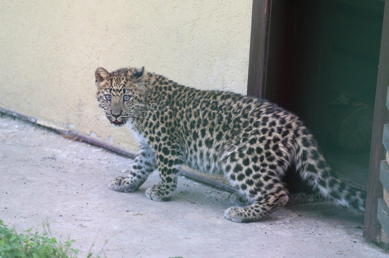 В зоопарке Белгорода посетителям показали маленькую самку леопарда, фото-4