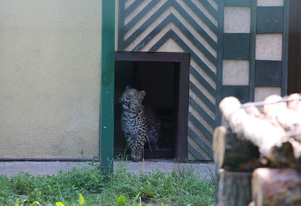 В зоопарке Белгорода посетителям показали маленькую самку леопарда, фото-6
