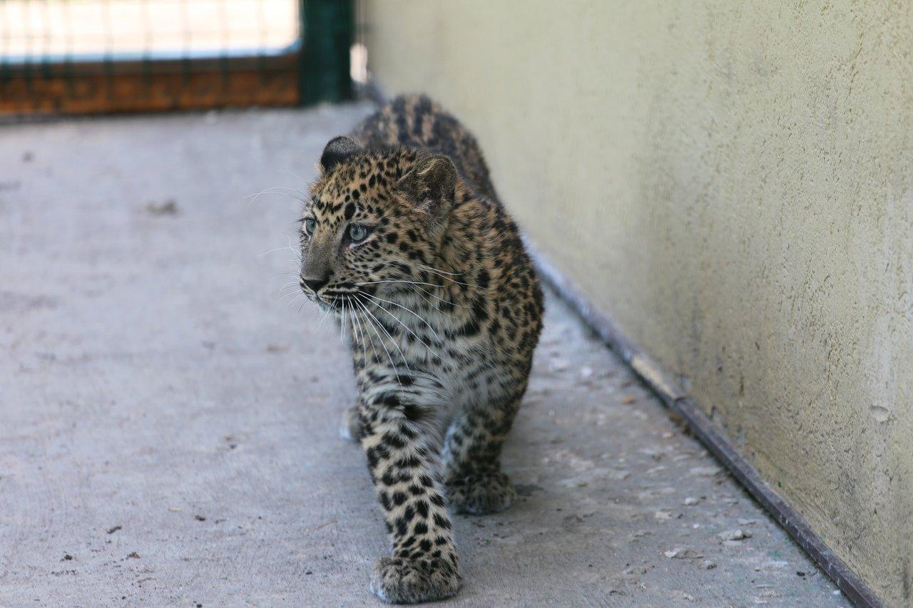 В зоопарке Белгорода посетителям показали маленькую самку леопарда, фото-2