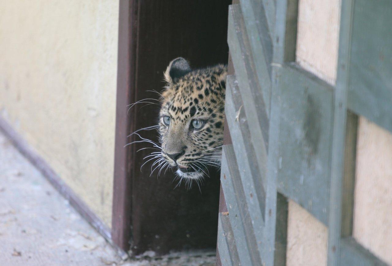 В зоопарке Белгорода посетителям показали маленькую самку леопарда, фото-1