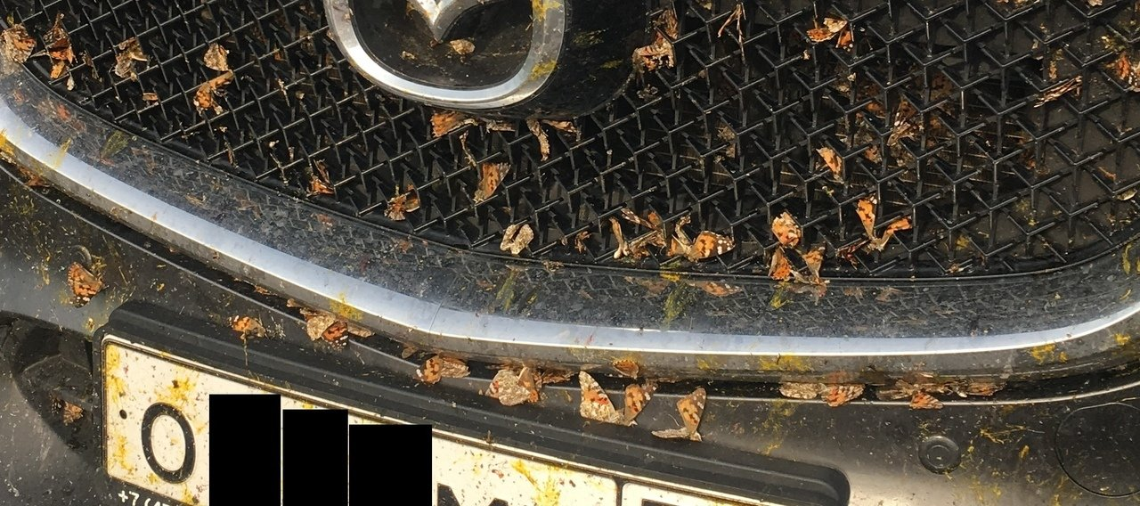 Белгородскую область атаковали бабочки-репейницы , фото-2