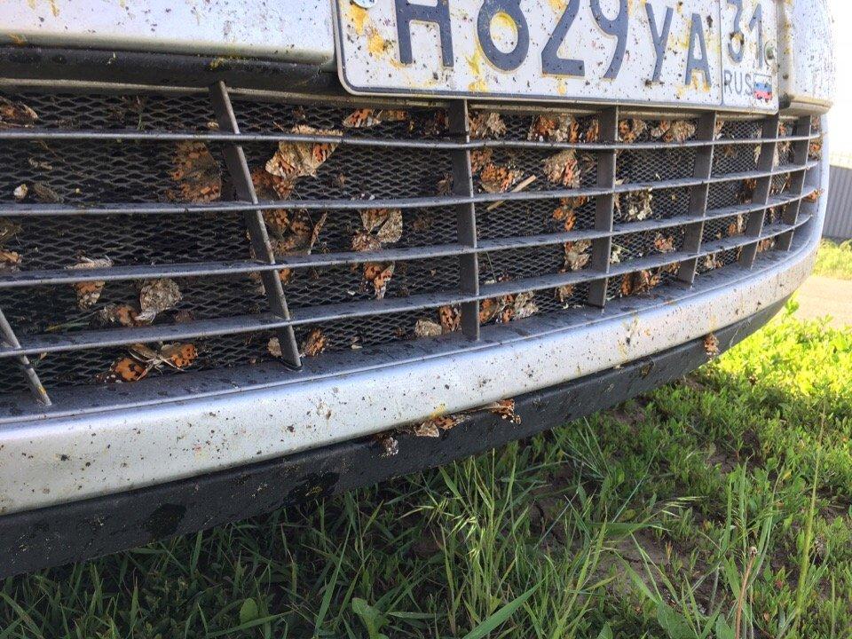 Белгородскую область атаковали бабочки-репейницы , фото-3