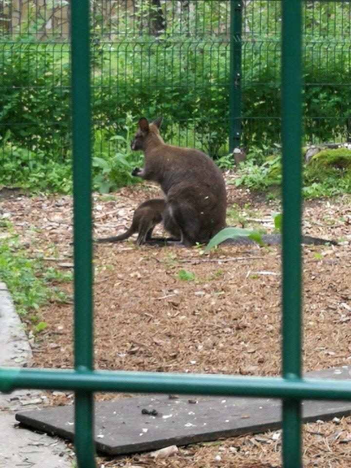 В зоопарке Белгорода родился кенгурёнок, фото-2