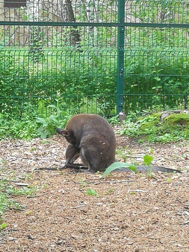 В зоопарке Белгорода родился кенгурёнок, фото-1