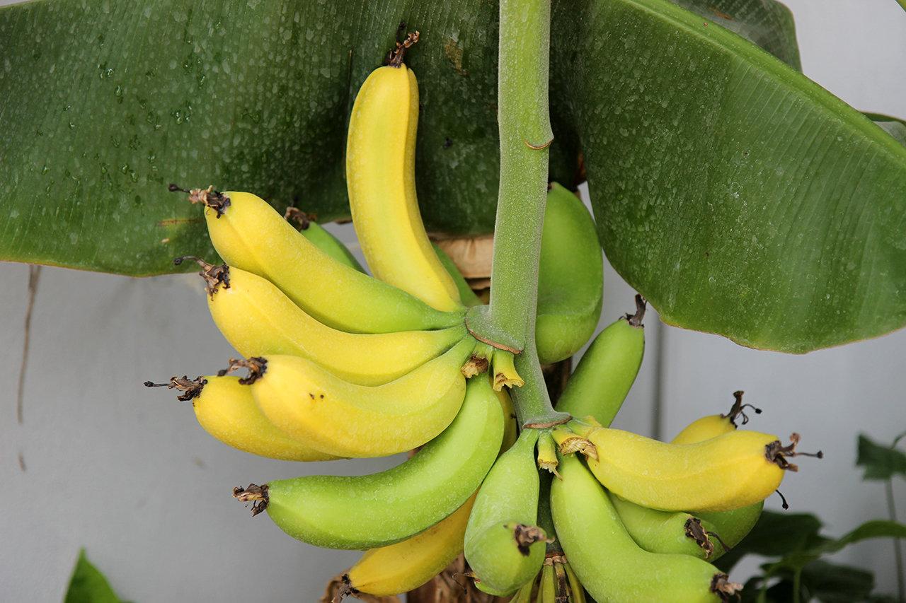 В зимнем саду БелГУ собирают урожай бананов, фото-3