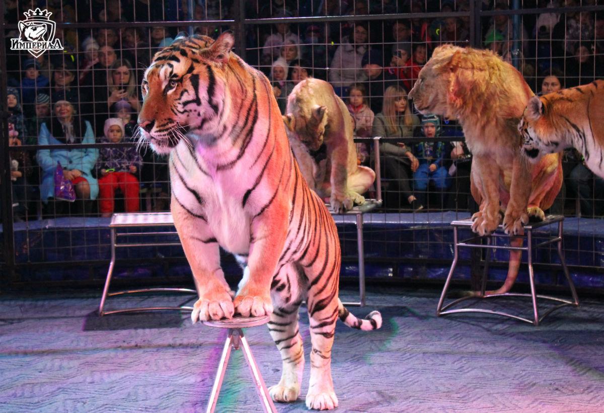 Международный цирк «Империал» провёл день открытых дверей в Белгороде, фото-2