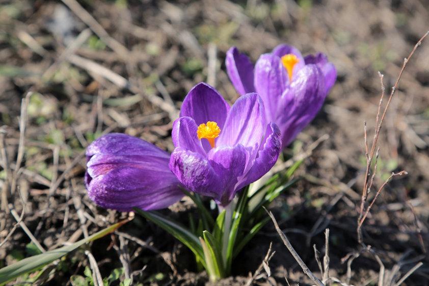 В Белгороде раньше обычного зацвели первоцветы, фото-5