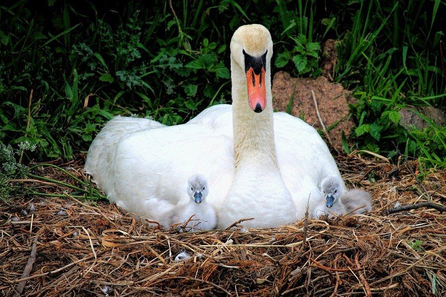 Белгородец заплатит штраф за уничтожение гнезда лебедя, фото-1