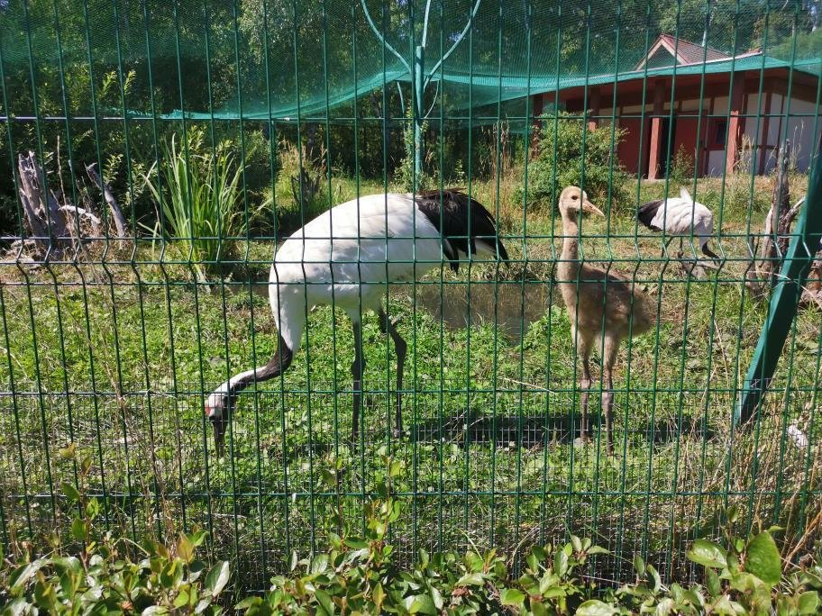 Японские журавли принесли потомство в зоопарке Белгорода, фото-1