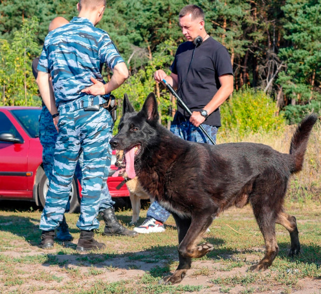 Четвероногие полицейские. В Старом Осколе собаки ищут останки погибших девушек, фото-1