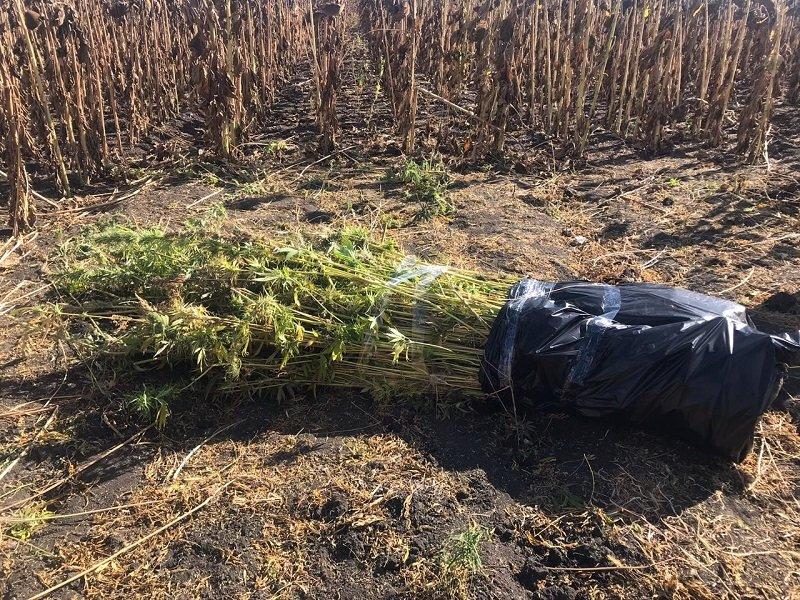 Полицейские нашли в машине белгородца 4 мешка с коноплёй, фото-3