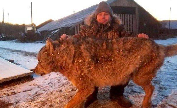Напавшая на ферму волчица, press.lv